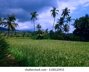 Just One Month Remains For Harvesting The Crops Of Rice Fields