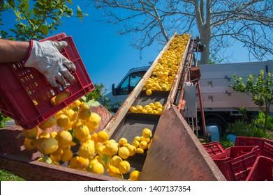 Nur gepflückte Zitronen, die während der Erntezeit in Sizilien in einen Lastwagen verladen werden