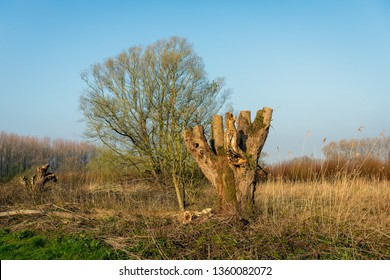 Just pruned old pollard willow tree in the Dutch National Park Biesbosch in North Brabant. It is early in the morning of a sunny day in the beginning of the spring season.