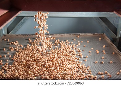 Just shelled hazelnuts falling on a metal tray ready for the peeling process