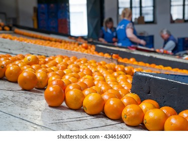 Just waxed tarocco orange fruits after the calibration process and waiting to be packaged