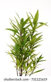 Justicia gendarussa Burm.f., Tree and Thai herbs have properties medicine.