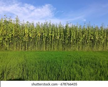 A jute plant field