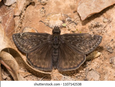 Juvenal's Duskywing butterfly resting on ground in early spring