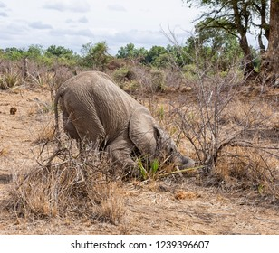A juvenile African Elephant foraging for roots