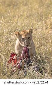 Juvenile african lion over wildebeest kill, Masai Mara National Reserve, Kenya, Africa