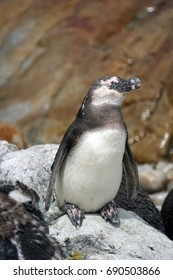 Juvenile African penguin (Spheniscus demersus) in a colony in Betty's Bay, near Cape Town, South Africa