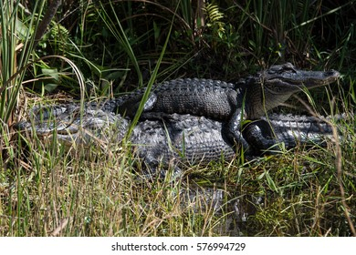 A juvenile alligator sits on top of its mother in the Florida Everglades.