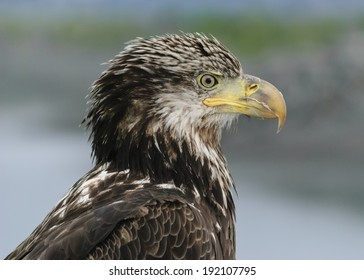 A juvenile American Bald Eagle poses for a portrait in Homer, Alaska.