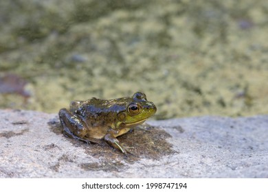 A juvenile American bullfrog (Lithobates catesbeianus) rests on a rock beside a pond. The amphibian is wet, having just emerged from the water in Algonquin Park, Ontario, Canada.