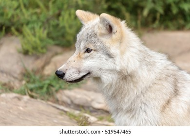 A juvenile arctic wolf sitting on a rocky hill in summer.
