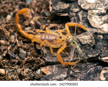 juvenile Arizona bark scorpion, Centruroides sculpturatus, eating a non-biting midge (chironomid), from above