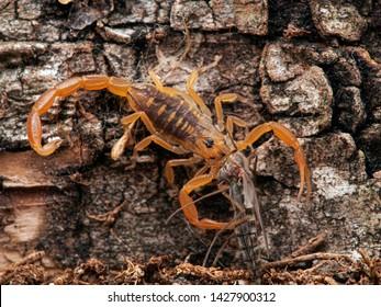 juvenile Arizona bark scorpion, Centruroides sculpturatus, eating a non-biting midge (chironomid), on bark