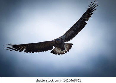 Juvenile Australian  Wedge Tail Eagle cruising the skies