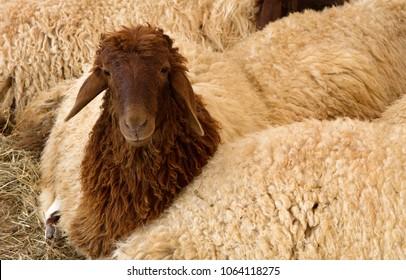 A Juvenile Awassi sheep