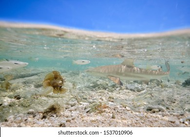 Juvenile baby blacktip reef shark swimming in shallow coral reef water on island off Fiji