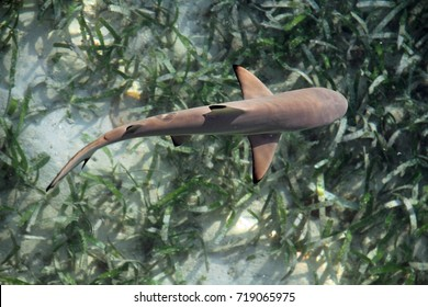 Juvenile baby shark from above over sea grass