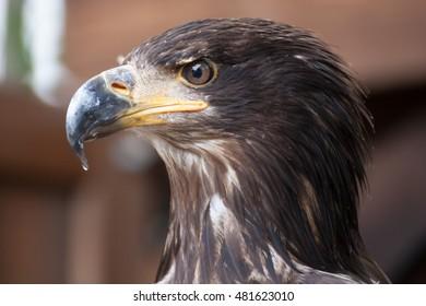 Juvenile Bald Eagle Close up side on