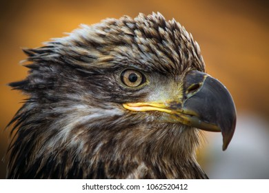 Juvenile Bald Eagle Close-up