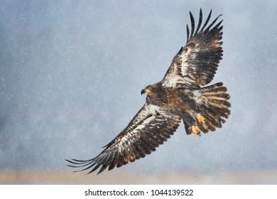 A juvenile Bald Eagle flies on a cold snowy winter day in soft light with a smooth gray background.