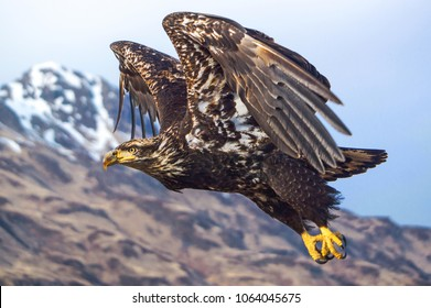 A juvenile bald eagle in flight
