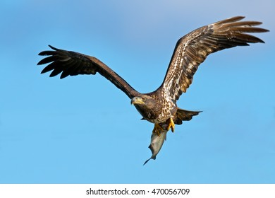 Juvenile Bald Eagle in Flight with Fish