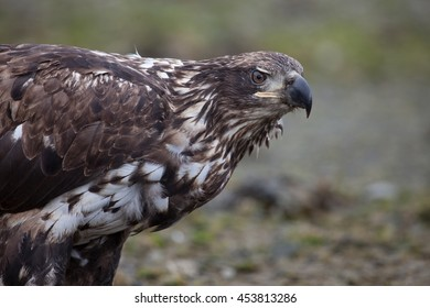 juvenile bald eagle looking at the camera