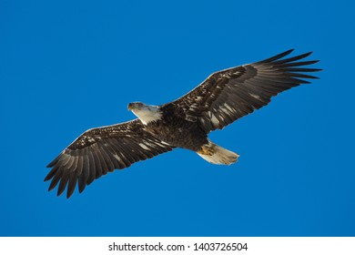 Juvenile bald eagle over the Mississippi River, Gladstone, Illinois