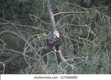 Juvenile Bald Eagle perched on tree