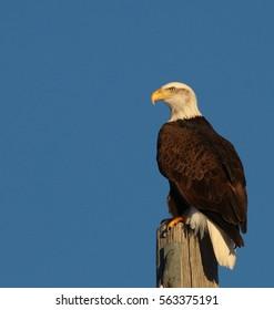 Juvenile Bald Eagle perched on a post.