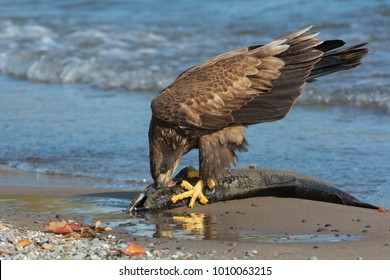 Juvenile Bald Eagle standing on a dead fish eating its meal. Rotary Park, Ajax, Ontario, Canada.