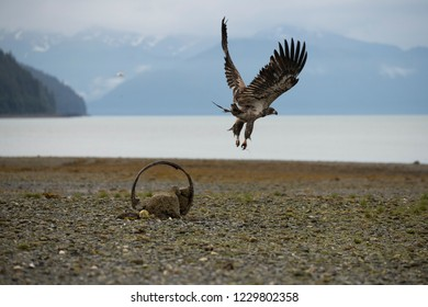 Juvenile Bald Eagle taking flight from circular perch on dry river bed, with ocean and misty mountains in the background.