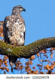Juvenile Bald Eagle in Tree