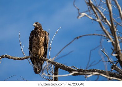 Juvenile Bald Eagle in Tree