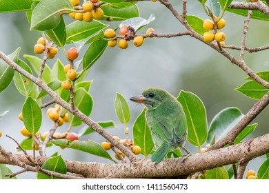 Juvenile Barbet sitting on the branch of fruit tree in tropical forest