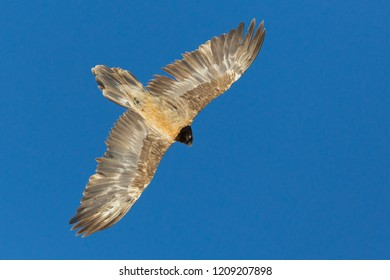 juvenile bearded vulture (gypaetus barbatus) flying in blue sky, open wings