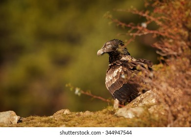 Juvenile bearded vulture sitting on edge of the rock with a distant green background,in the Spanish Pyrenees