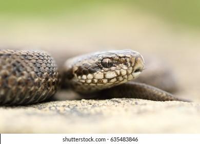 juvenile beautiful meadow viper ( The rarest reptile in Europe, Vipera ursinii rakosiensis )