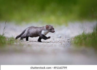 Juvenile beech marten crosses the road. Small, agile predator, Stone Marten, Martes foina, in typical european forest environment, on forest road, with a raised paw. Ground level photo.Czech wildlife.