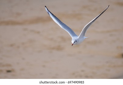 Juvenile black headed gull flying over a sandy beach in South Wales, UK