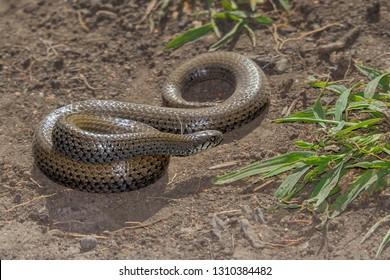 Juvenile Black Mamba snake