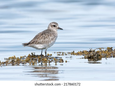 A juvenile black-bellied plover rests on the shoreline during an incoming tide along the Washington state coast.