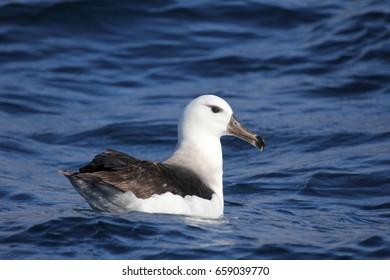 A juvenile black-browed albatross