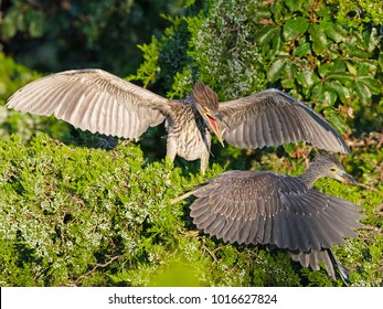 Juvenile Black-crowned with Yellow-crowned Night Heron