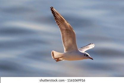 Juvenile Black-Headed Gull (Chroicocephalus ridibundus) in flight against fuzzy water in summer, Podlasie Region, Poland, Europe