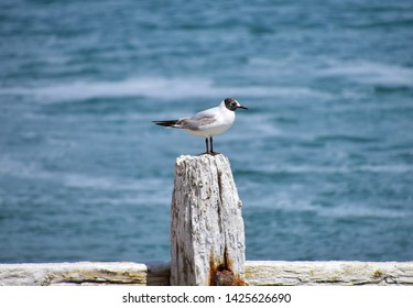 Juvenile black-headed gull on old wooden sea groin without of focus ocean background
