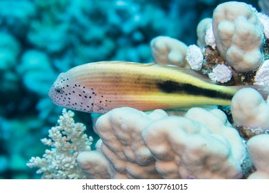 An juvenile black-sided hawkfish, freckled hawkfish or Forster's hawkfish (Paracirrhites forsteri) luring for bait on the hard corals of the reef in the Red Sea in Egypt