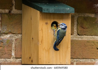 Juvenile Blue Tit (Cyanistes Caerules) fledging from nest box in Lechlade, UK
