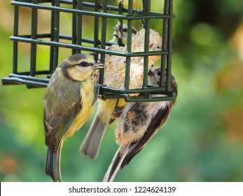 Juvenile blue tit on a fat feeder with a long tailed tit