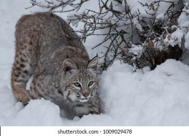 Juvenile Bobcat in the Snow